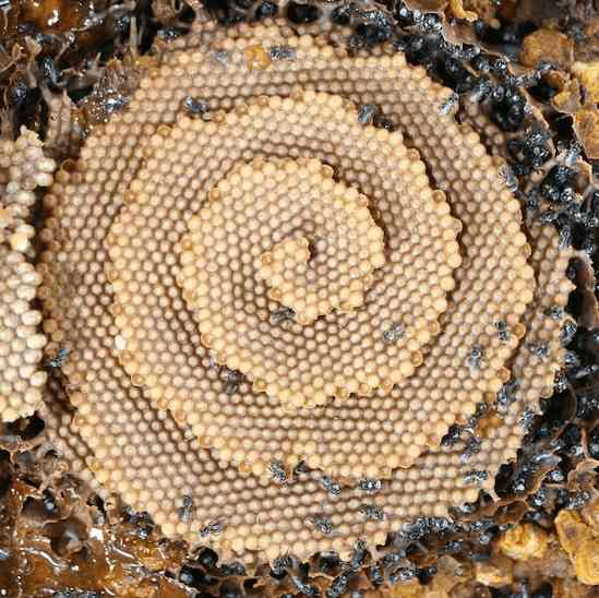 Hive of the stingless bee tetragonula carbonaria - Photo credit 9999Monkeys Reddit
