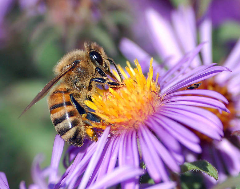 A European honey bee extracts nectar